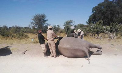 Elephants continue to die in the Delta